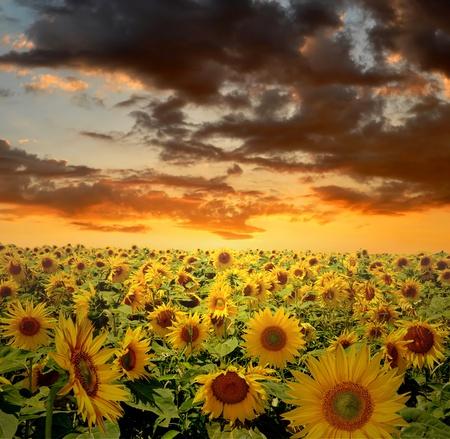 the setting sun: setting sun over the sunflower field  Stock Photo