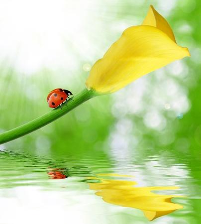Beautiful yellow calla with ladybug
