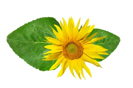 insular: sunflower with green leaf  Stock Photo