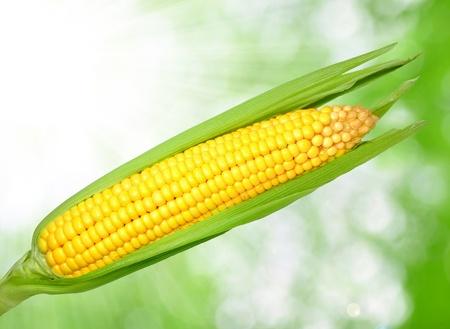 corn fields: Corn field