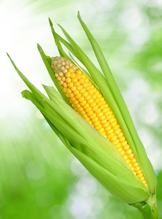maize cultivation: Corn field