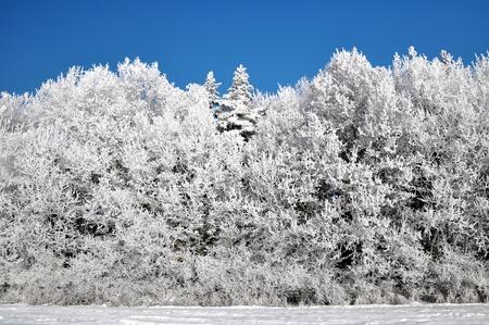 wintrily: Frozen tree