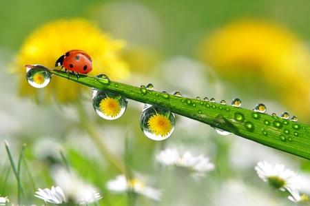 fresh morning dew and ladybird photo