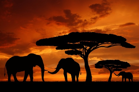 orange sunset: Silhouette two elephants in the sunset