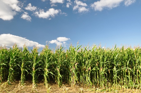 corn rows: Agricultural landscape of corn field