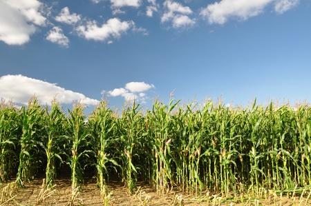 corn fields: Agricultural landscape of corn field
