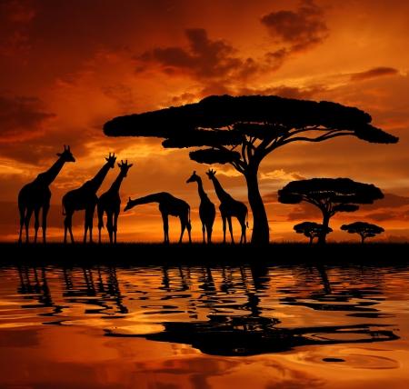 jirafa sobre amanecer Foto de archivo
