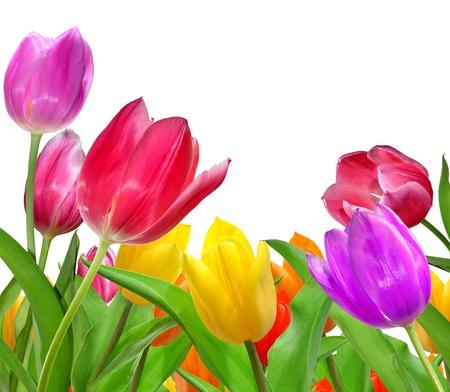 Tulipan na białym