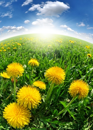 dandelions in the meadow  photo