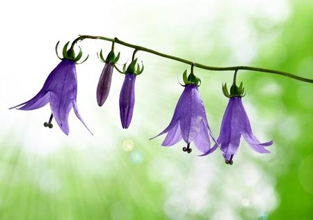 bluebells: bell flowers
