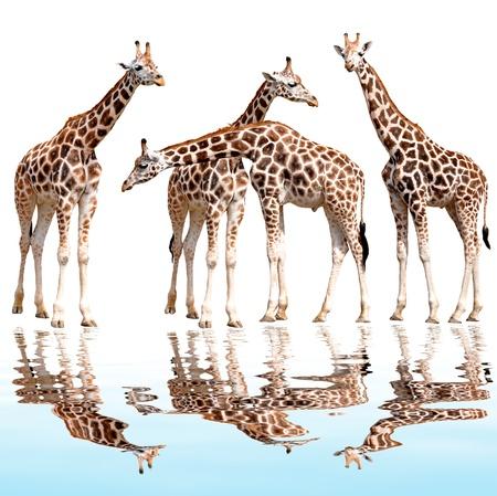 giraffen geïsoleerd