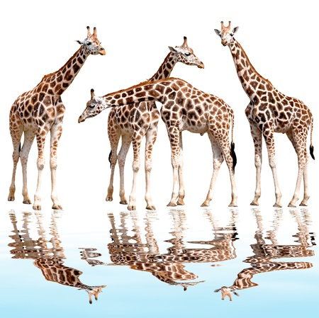 giraffes isolated  Stock Photo - 11287312