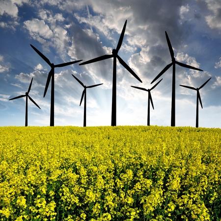 rapeseed field with wind turbine  photo