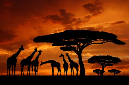 kenya: giraffe over sunrise  Stock Photo