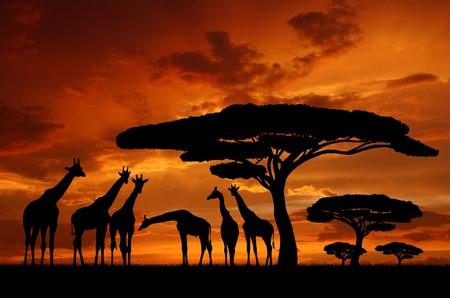 acacia: giraffe over sunrise  Stock Photo