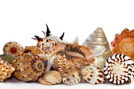 caracolas de mar: conchas marinas tropicales