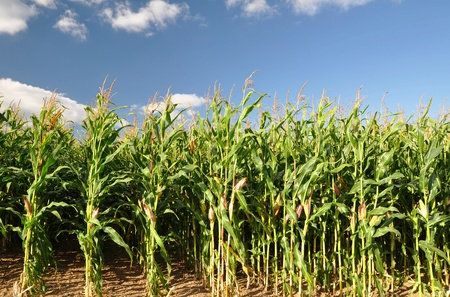 indian summer seasons: Corn field