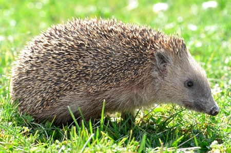 hibernate: hedgehog  Stock Photo