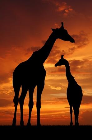Two giraffes over sunrise photo