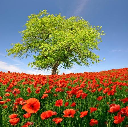 opium poppy: Spring landscape with red poppy Stock Photo