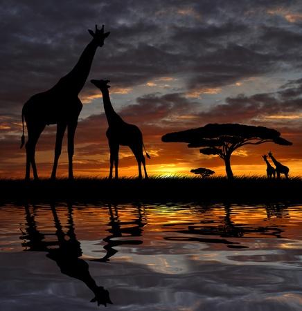 africa sunset: giraffe over sunrise