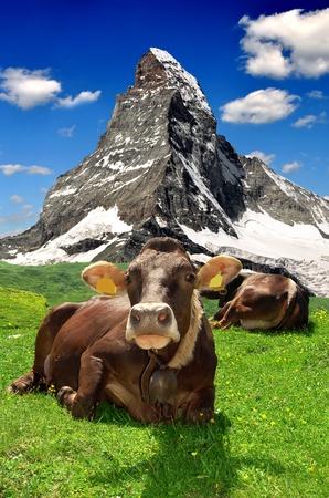 Koe liggend in de meadow.In de achtergrond van de Matterhorn-Zwitserse Alpen
