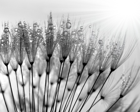 dewy dandelion  photo