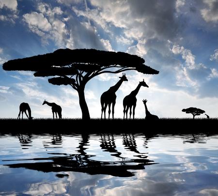 the national flag of kenya: jirafa sobre la salida del sol