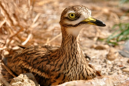 birdlife: stone curlew (Burhinus oedicnemus)  Stock Photo
