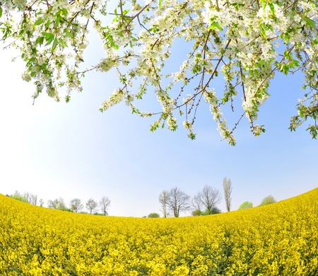 flower power: spring tree in the rapeseed field Stock Photo