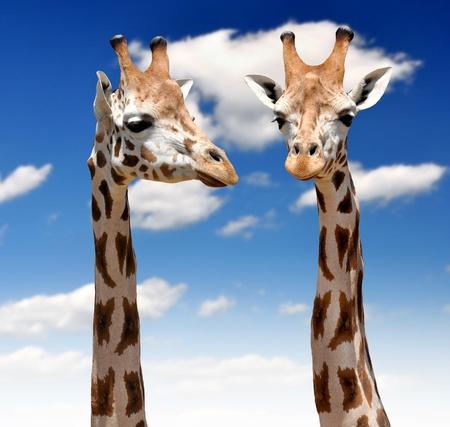 animales del zoologico: dos jirafas