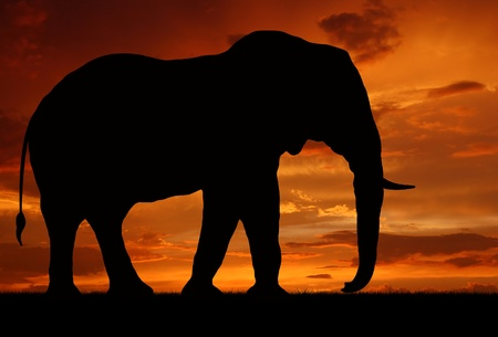 silhouette elephant in the sunset  Stock Photo - 11989088