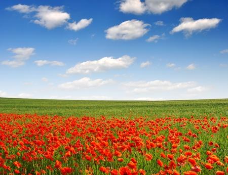 corn flower: red poppy