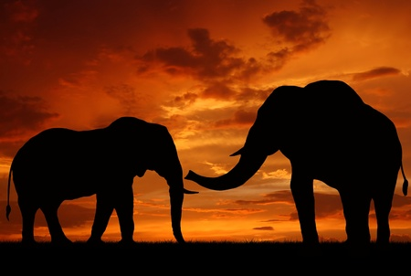 desert sunset: silhouette elephant in the sunset