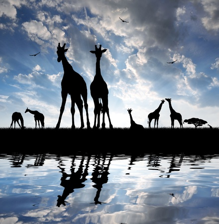 herd of giraffes in the setting sun  photo