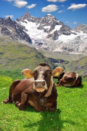traditional climbing: Cow lying in the meadow.In the background of the Gabelhorn-Swiss Alps