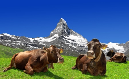 traditional climbing: Cows  lying in the meadow In the background of the Matterhorn-Swiss Alps