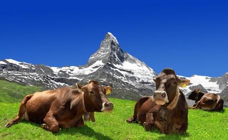 Koeien liggen in de weide Op de achtergrond de Matterhorn-Zwitserse Alpen