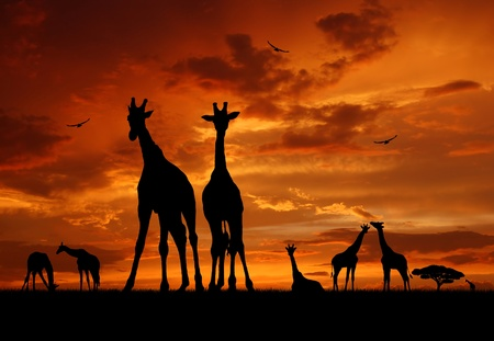 herd of giraffes in the sunset  photo