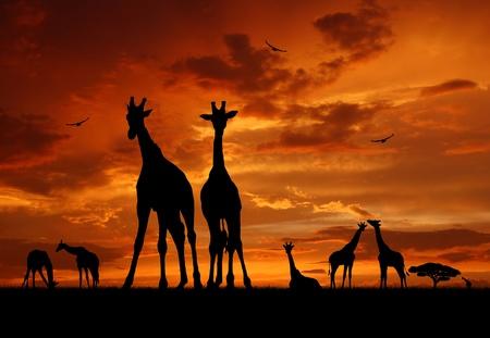 serengeti: herd of giraffes in the sunset  Stock Photo