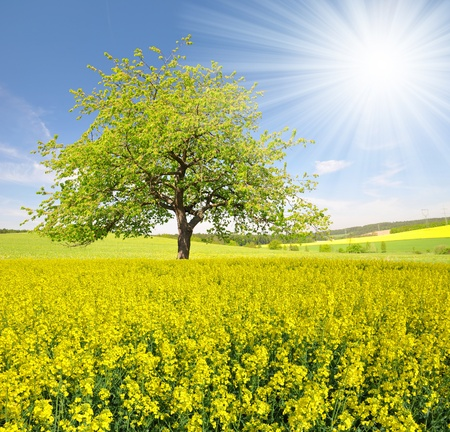 oil field: spring tree in the rapeseed field  Stock Photo