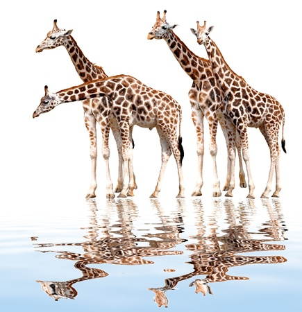 giraffes isolated  photo