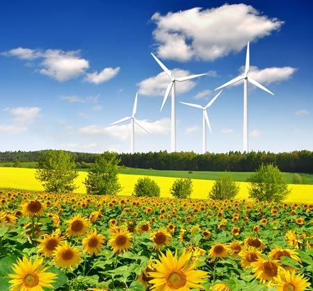 sunflower field with wind turbines  photo