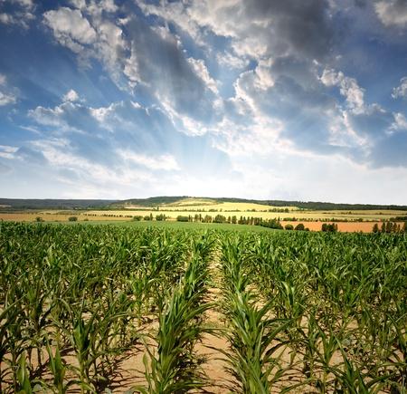 Corn field in the sunset photo