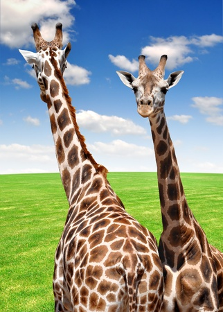 two giraffes  photo