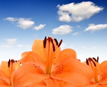 orange lily: floral background with orange lily  Stock Photo