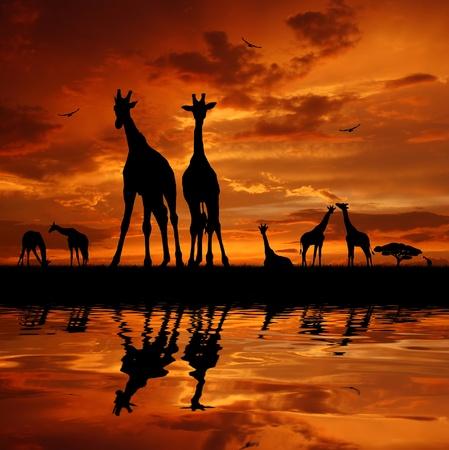 Two giraffes in sunset