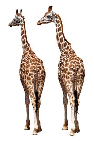 giraffes isolated Stock Photo - 13007004