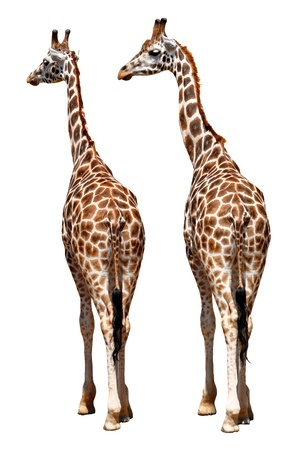 youngly: giraffes isolated