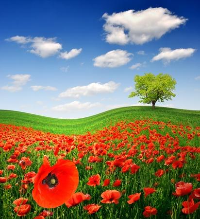 opium poppy: Red poppy field Stock Photo